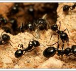 little-black-ant.jpg